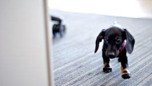 kutya szőnyegfolt